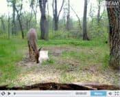 Live Wildlife Deer Camera